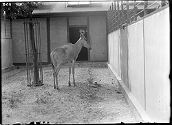 Coke's Hartebeest, 1910, Smithsonian Institution Archives, SIA Acc. 14-167 [NZP-0300].