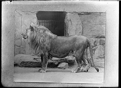 Lion, Male, 1910, Smithsonian Institution Archives, SIA Acc. 14-167 [NZP-0333].