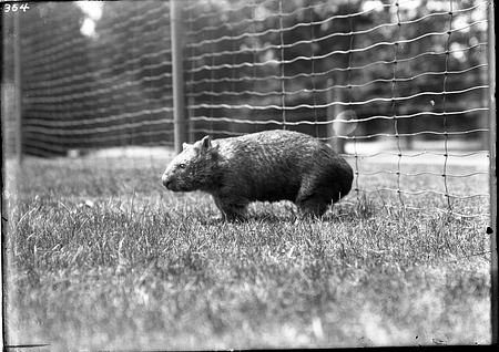 Common Wombat, 1910, Smithsonian Institution Archives, SIA Acc. 14-167 [NZP-0354].