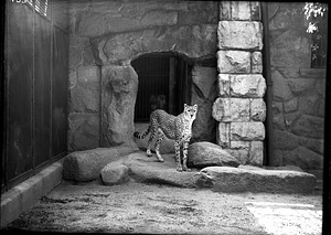 African Cheetah, 1910, Smithsonian Institution Archives, SIA Acc. 14-167 [NZP-0453].