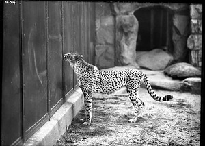 African Cheetah, 1910, Smithsonian Institution Archives, SIA Acc. 14-167 [NZP-0454].