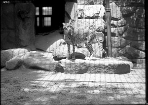 African Cheetah, 1910, Smithsonian Institution Archives, SIA Acc. 14-167 [NZP-0455].