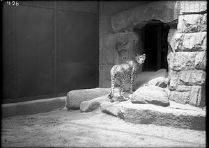 African Cheetah, 1910, Smithsonian Institution Archives, SIA Acc. 14-167 [NZP-0456].