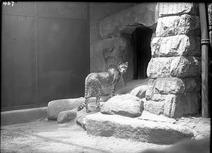 African Cheetah, 1910, Smithsonian Institution Archives, SIA Acc. 14-167 [NZP-0457].