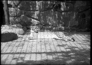 African Cheetah, 1910, Smithsonian Institution Archives, SIA Acc. 14-167 [NZP-0458].