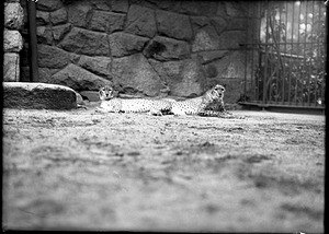 African Cheetahs, 1910, Smithsonian Institution Archives, SIA Acc. 14-167 [NZP-0459].