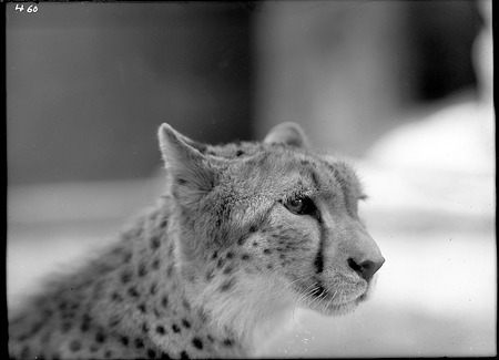 African Cheetah, 1910, Smithsonian Institution Archives, SIA Acc. 14-167 [NZP-0460].