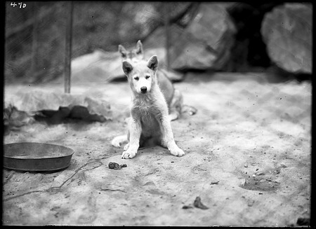 Eskimo Dog Pups, 1910, Smithsonian Institution Archives, SIA Acc. 14-167 [NZP-0470].