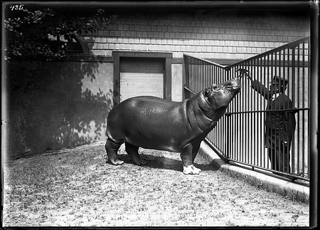 Nile Hippopotamus, 1910, Smithsonian Institution Archives, SIA Acc. 14-167 [NZP-0485].
