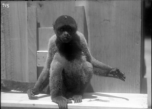 Woolly Monkey, 1900, Smithsonian Institution Archives, SIA Acc. 14-167 [NZP-0715].