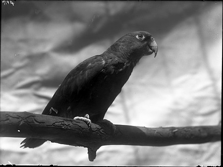 Yellow-Headed Amazon Parrot, 1920, Smithsonian Institution Archives, SIA Acc. 14-167 [NZP-0734].