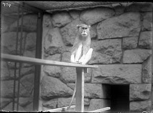 Patas Monkey, 1910, Smithsonian Institution Archives, SIA Acc. 14-167 [NZP-0774].