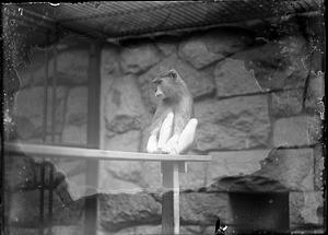 Patas Monkey, 1910, Smithsonian Institution Archives, SIA Acc. 14-167 [NZP-0777].