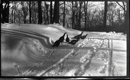 Wild Turkeys in Snow, 1910, Smithsonian Institution Archives, SIA Acc. 14-167 [NZP-0912].