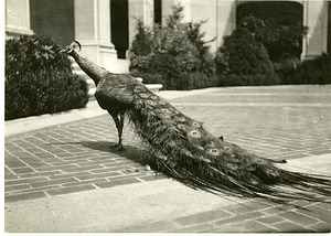 Peacock in the Courtyard of Freer Gallery of Art