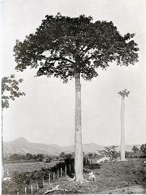 Cavanillesia-tree, Panama