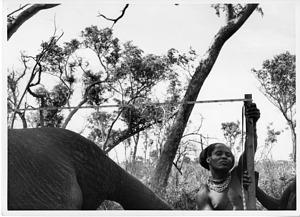 Measuring the Fénykövi Elephant
