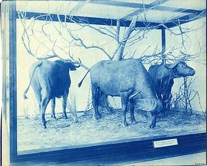 Exhibit of East African Buffalo