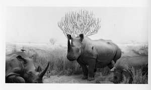 Rhinoceros Diorama, by Unknown, post 1959, Smithsonian Archives - History Div, SIA2010-0484.