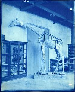 Giraffe Mannequin Being Assembled