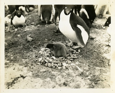 Penguins in Antarctica, by Unknown, 1947-1948, Smithsonian Archives - History Div, SIA2010-0645.