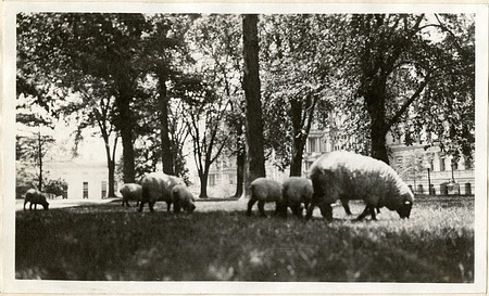 President Wilson's Sheep at the White House
