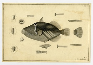 Illustration of Balistoid, 1838, Smithsonian Institution Archives, SIA RU007186 [SIA2011-1209].