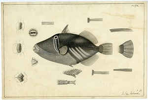 Illustration of Balistoid, 1838, Smithsonian Institution Archives, SIA RU007186 [SIA2011-1232].