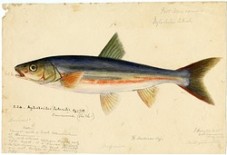 Watercolor of Cyprinoid by Joseph Drayton