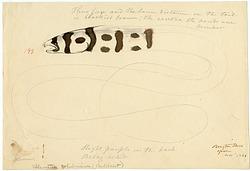 Drawing of Muraenoid, 1838, Smithsonian Institution Archives, SIA RU007186 [SIA2011-1234].