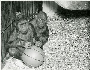 Two Baby Gorillas Moka and Nikumba