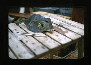 Moonfish collected near Virgin Gorda, during Smithsonian Bredin Caribbean Expedition, 1956