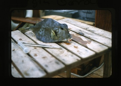 Moonfish collected near Virgin Gorda, during Smithsonian Bredin Caribbean Expedition, 1956