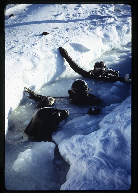 Ray and Lavallee with Weddell seals at the Palmer Peninsula, Antarctica, c. 1962