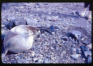 Seal on the Palmer Peninsula, Antarctica, c. 1962
