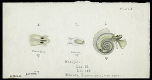 Colored diagram of an Atlanta Scammoni Mollusk