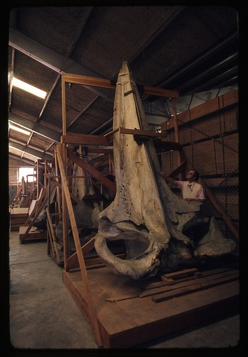 Frank Greenwell Standing with Whale Skull