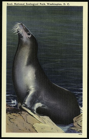 Blank Postcard of a Seal at the Zoo