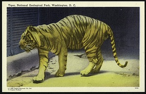 Blank Postcard of a Tiger at the Zoo