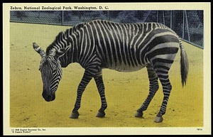 Blank Postcard of a Zebra at the Zoo