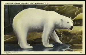 Blank Postcard of a Polar Bear at the Zoo