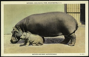 Blank Postcard of a Mother and Baby Hippopotamus