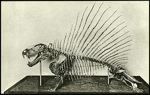 Postcard of an Extinct Reptile Skeleton