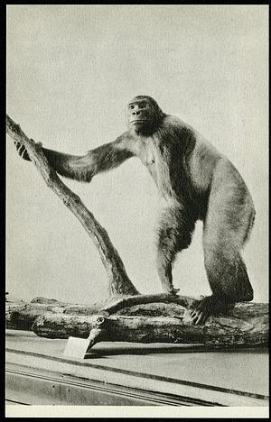Postcard of a West African Gorilla