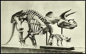 Postcard of Horned Dinosaur Skeletons