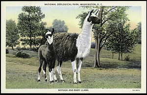 Postcard of a Mother and Baby Llama