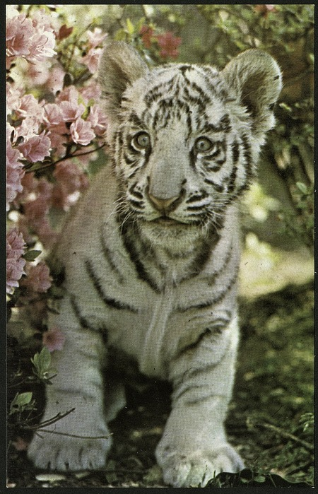 Postcard of White Tiger Cub