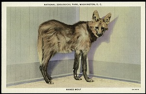Postcard of a Maned Wolf