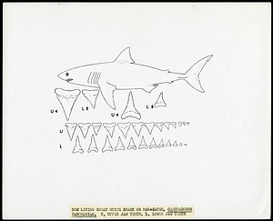 Drawing of shark teeth of the Great White Shark