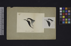 Robert Ridgway Bird Head Drawing #157x